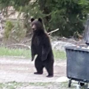 En björn står på bakbenen vid en soptunna.
