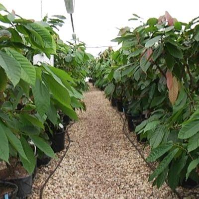 kakaoplantor i växthus