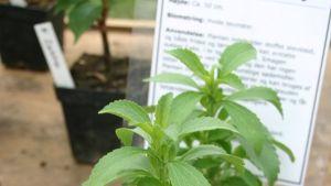 stevia växt