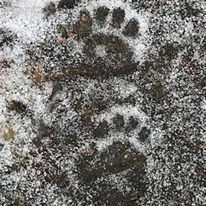 Djurspår i snön.