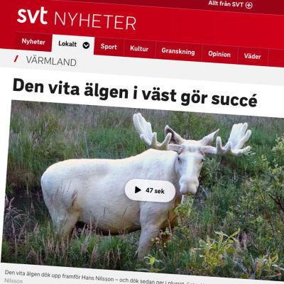 Skärmdump av SVT:s artikel om den vita älgen.
