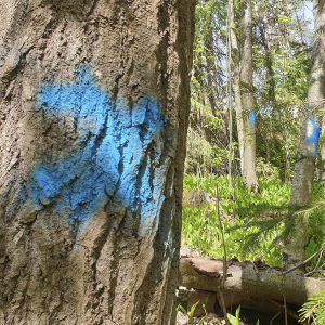 Patterimäen puistossa on moneen puuhun maalattu sininen rasti poistamisen merkiksi.