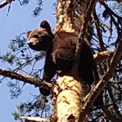 Karhunpentu on kiivennyt korkealle kuuseen.