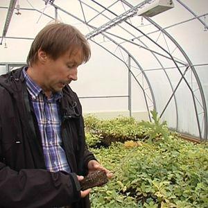 Tryffelodlaren Harri Kähönen har närmare 3 000 hassel- och ekplantor i sitt växthus.