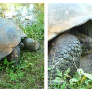 Jättesköldpadda på Galápagos