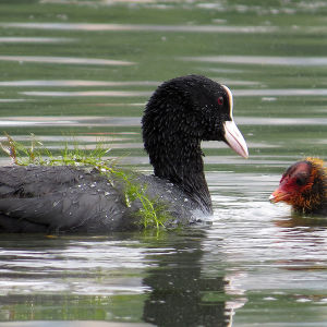 Nokikana ja poikanen vedessä, nokikanan selässä vesiruohoa.