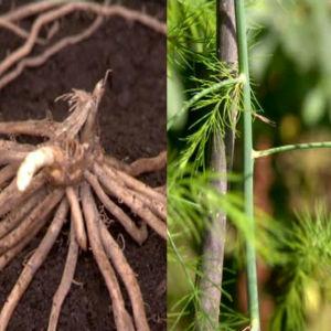 Sparrisrötter och unga plantor.