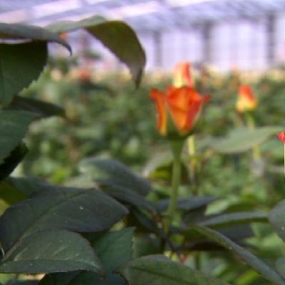 Ruusuja Ali-Marttilan kasvihuoneessa.