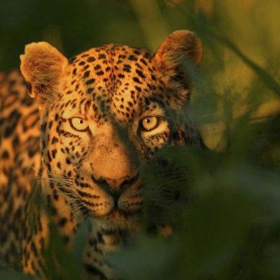Avara luonto: Saako leopardi täplänsä?, yle tv1