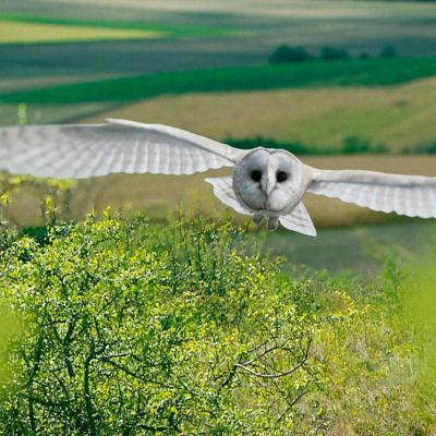Avara luonto: Pöllö etsii asuntoa, yle tv1