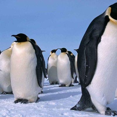 avara luonto keisaripingviinin haaste, yle tv1