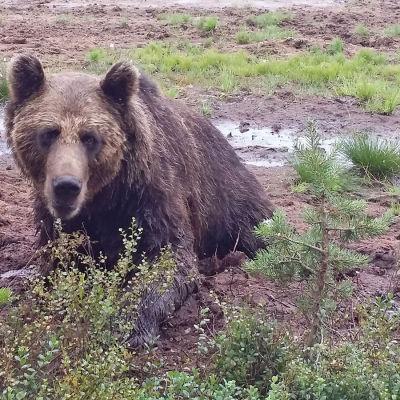 Istuva karhu, katsoo kohti. Suomaisema.