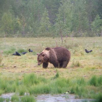 Karhu suoaukealla