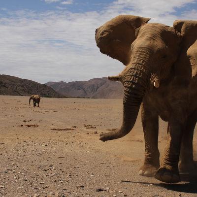 Avara luonto: Hoanibin aavikkoelefantit, yle tv1
