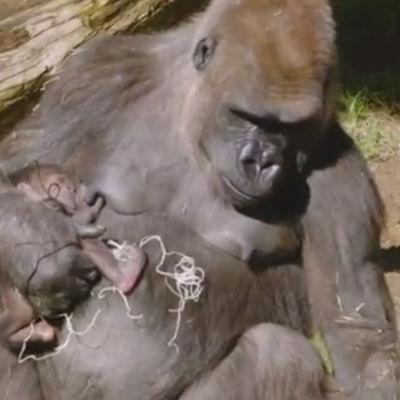 Gorillan Kokomo