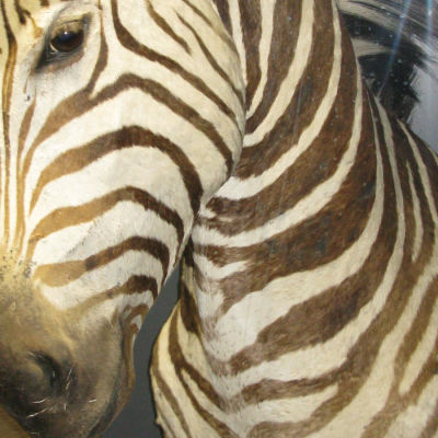 Trofé gjord av zebrahuvud.