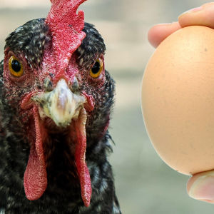 En höna och ett ägg.