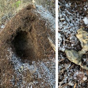 En myrstack med en stor grop i.