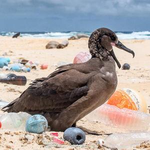 En fågel på en strand med mycket plastskräp.