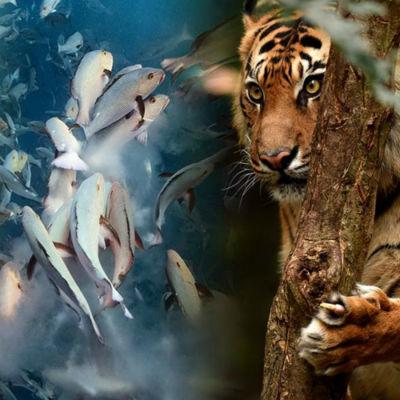 Bildkollage med gorillor, fiskar och tiger.