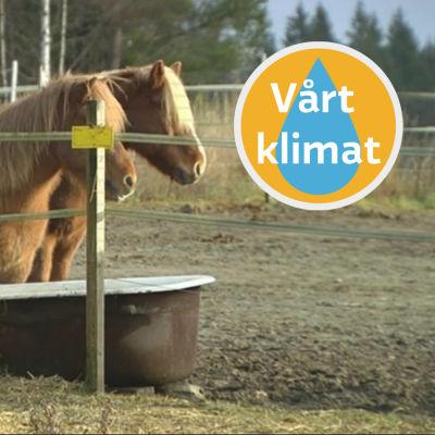 Islandshästar i hage i Sibbo, Stall Trollhorse.