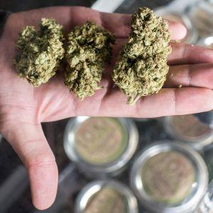 Kannabista kädessä