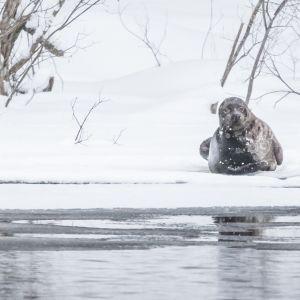 Saimaannorppa köllötteli Sahalammen jäällä tiistaina 13. helmikuuta