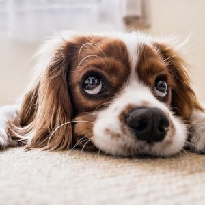 Matolla makaava koira katselee suurin silmin.
