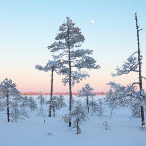 Kivisuon pohjoisaltaan eteläisen metsäsaarekkeen laitarämettä.