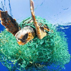 verkkoon sotkeutunut kilpikonna