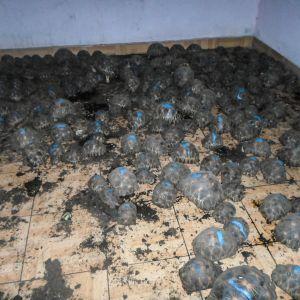 Useita kymmeniä kilpikonnia huoneessa