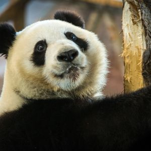 Lumi, Jin Bao Bao. Ähtärin panda.