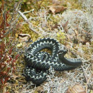 Kyykäärme
