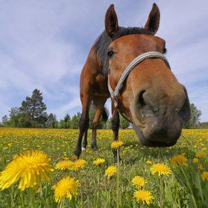 Hevonen laitumella