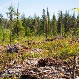 Metsä istutus muokattu maa Paltamo Heiskala