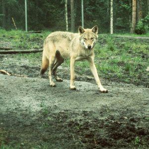 Susi Ähtärin eläinpuistossa