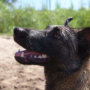 Nala-koira lähikuva Seurasaaressa