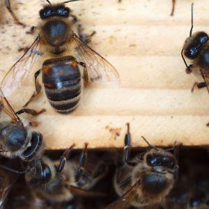 Pohjolan tumma mehiläinen pesällään