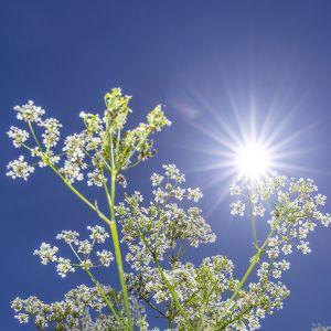 Aurinko porottaa kirkkaalta taivaalta