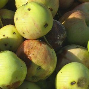 Jätehuollossa omenat aiheuttavat ongelmia lähinnä sen vuoksi, että niitä päätyy biojätteen ohella myös sekajätteeseen.