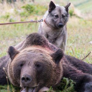 Metsästyskoira tutustuu kaadettuun karhuun