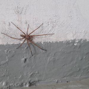 Varastohämähäkki.