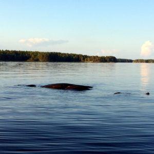 Pintaan näkyviin tullut kivi järvellä, kun veden pinta on laskenut.