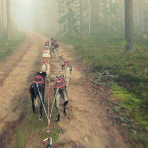 Rekikoiria treenataan vetovaljaissa metsälenkillä.