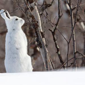 Metsäjänis talviturkissa.