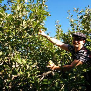 Olut- ja siideribloggaaja Mika Laitinen kerää omenoita.