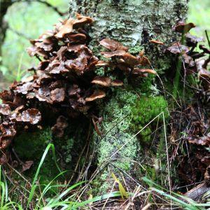Sieniä kasvaa puun juuressa