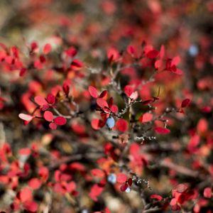 Juolukka on ruska-aikaan voimakkaan punainen, samoin mustikka, riekonmarja ja vaivaiskoivu.