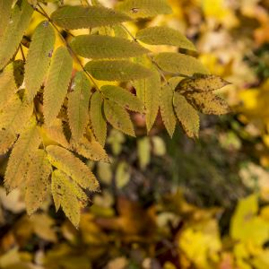 Kellastuneita puiden lehtiä puussa ja maassa.