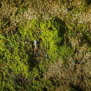 Vihreää matalakasvuista sammalta hiekkamaassa Kalajoen hiekkasärkkien mäntymetsässä.